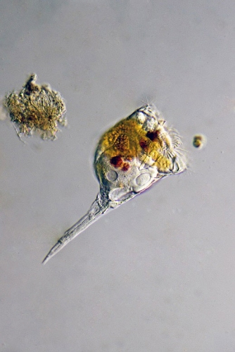 Microdon clavus. DIK, manuell gestapelt aus 7 Aufnahmen. Fanø (DK), aus einer kleinen Wasseransammlung in den Dünen.