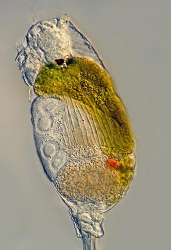 Monommata arndti. DIK, manuell gestapelt aus 5 Aufnahmen. Fanø (DK). Optischer Schnitt im untern Teil des Körpers, um den roten Fleck zu verdeutlichen. Der rote Fleck (paarig) entwickelt sich nach der Nahrungsaufnahme.